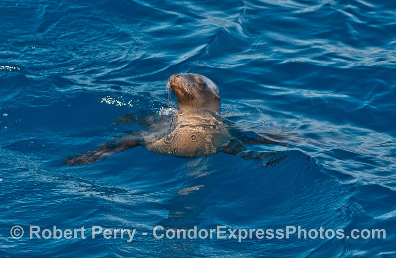 A California sea lions postures near the boat
