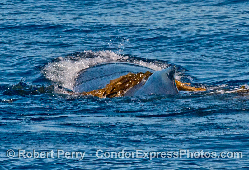 Humpback whale playing in the kelp