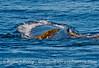 Megaptera novaeangliae & Macrocystis pyrifera fun 2014 10-22 SB Channel-018