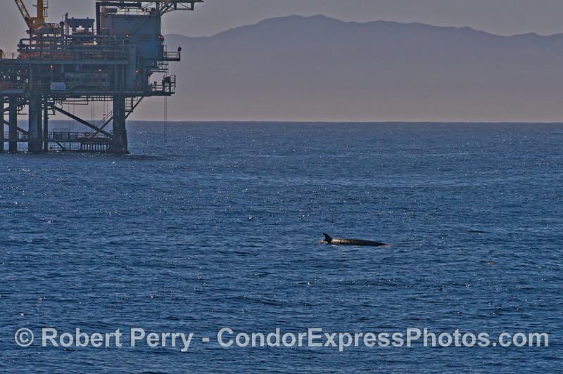 Minke whale near Platform Habitat
