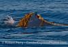 Megaptera novaeangliae & Macrocystis pyrifera fun 2014 10-22 SB Channel-026