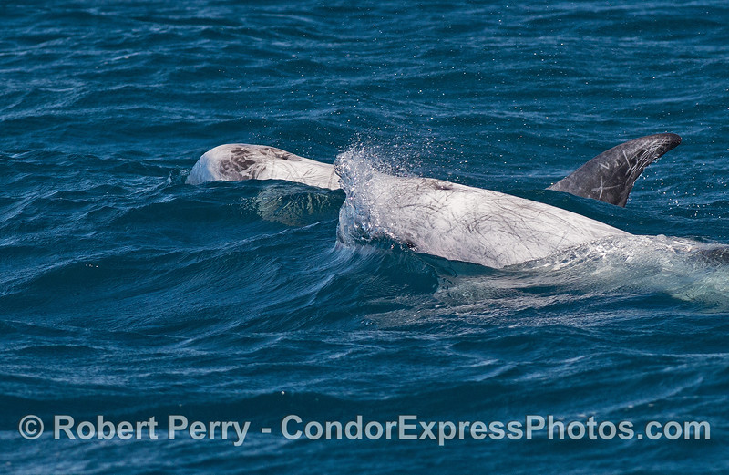 Risso's dolphins bust through on coming waves