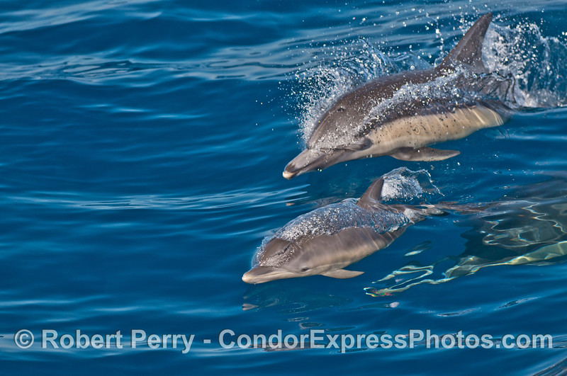 Mother and calf Long beaked common dolphins