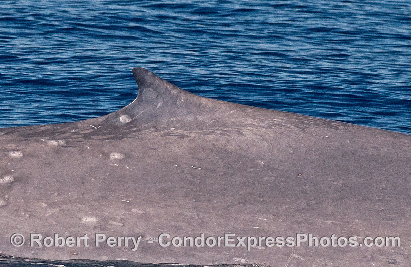 Dorsal fin close up - giant blue whale