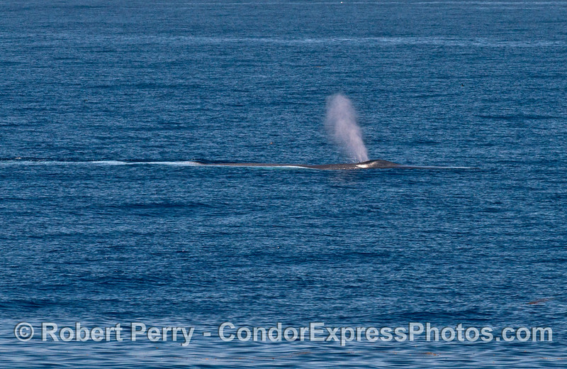 Another look at the first half of a very long and spouting blue whale