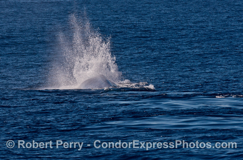 A unique huge blast of exhaled air sends up a plume of spray as the giant blue whale starts a deep dive