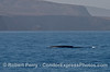Blue whale with Santa Cruz Island in back - Channel Islands National Parks