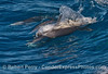 Image 1 of 2 in a row:  Long beaked common dolphin antics
