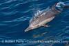 Long beaked common dolphin calf