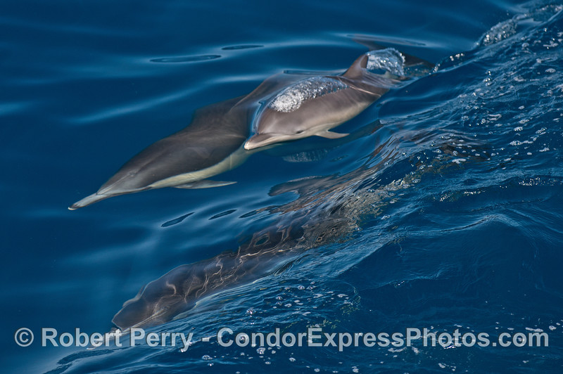 Long beaked common dolphin mother and her calf