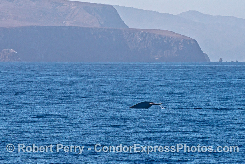 Very stocky tail flukes  of a blue whale near Santa Cruz Island