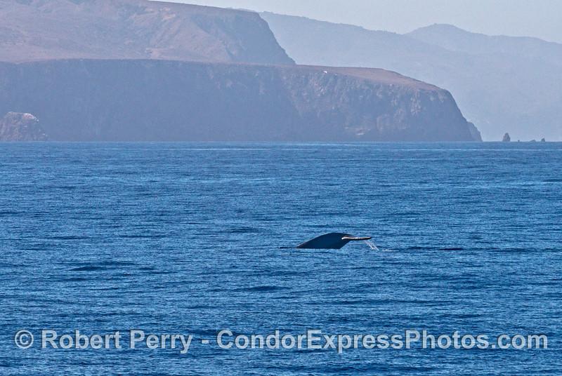 Very stocky tail flukes  of a blue whale near Santa Cruz Island