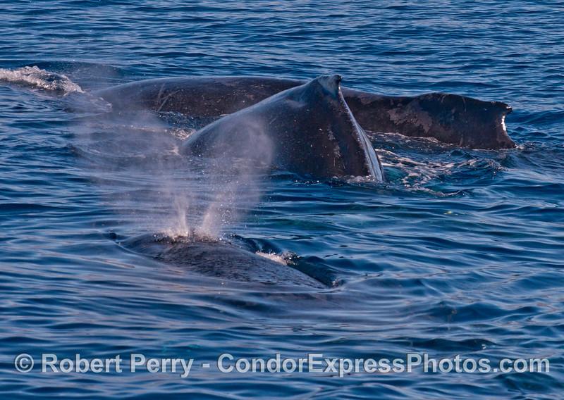 Three humpbacks