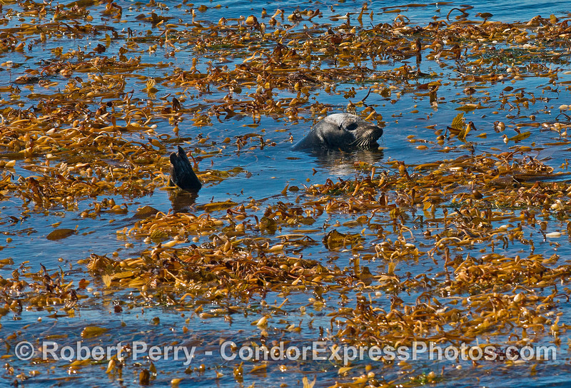 A Pacific harbor seal relaxes in a giant kelp paddy.