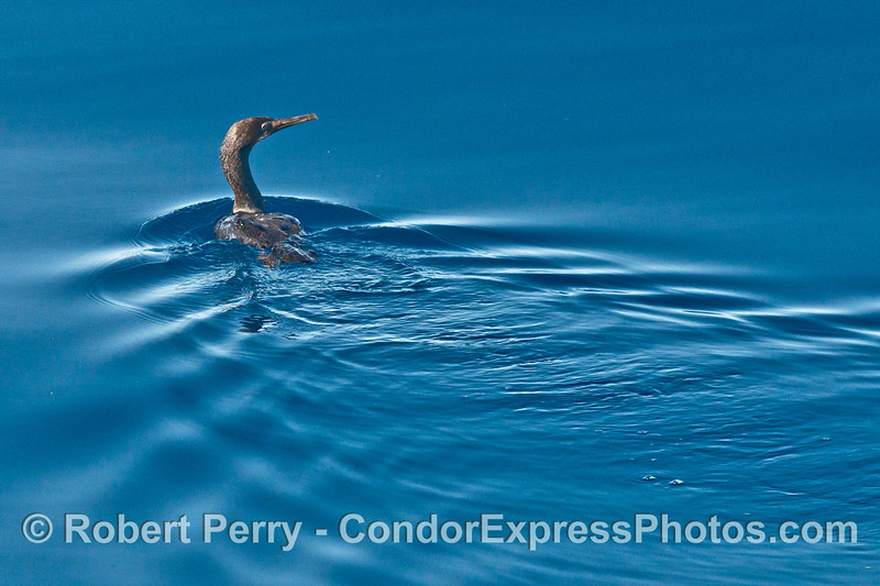 Cormorant on a glassy ocean surface