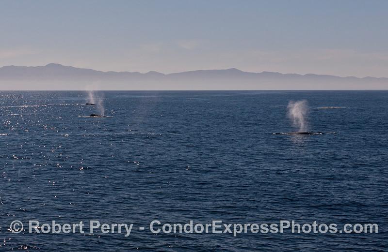 Three simultaneous spouts with Santa Cruz Island in the back