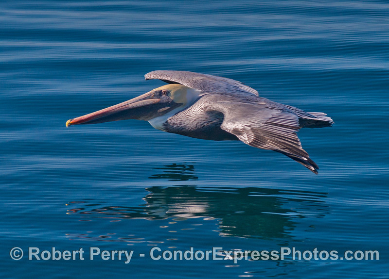 Brown pelican soaring low on a glassy ocean.
