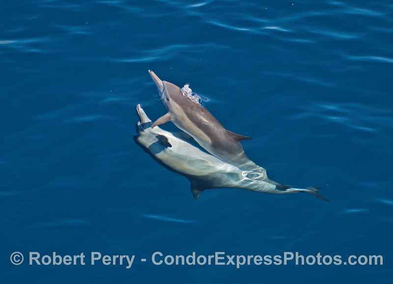 Image 1 of 2 in a row:  Long beaked common dolphins mating.