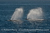 Humpback whales spouting in unison.
