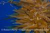 Giant kelp adrift on the open sea