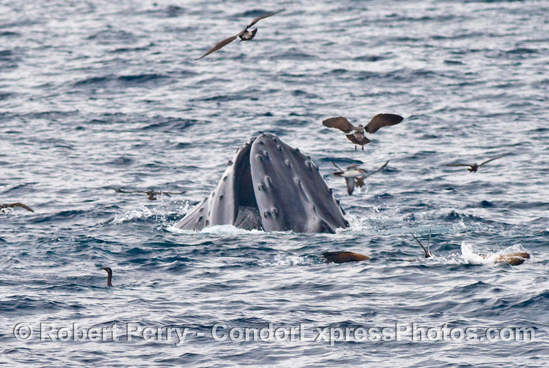 Image 1 of 2:   a surface lunge feeding humpback whale shows some baleen