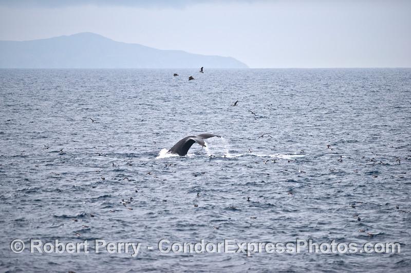 Tail flukes, island, and sea birds.