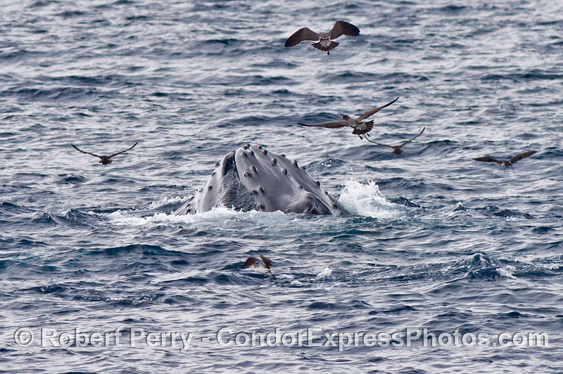 Image 2 of 2:   a surface lunge feeding humpback whale shows some baleen