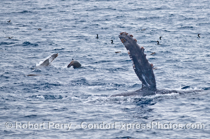 California sea lions frolic near a pectoral fin slapping humpback