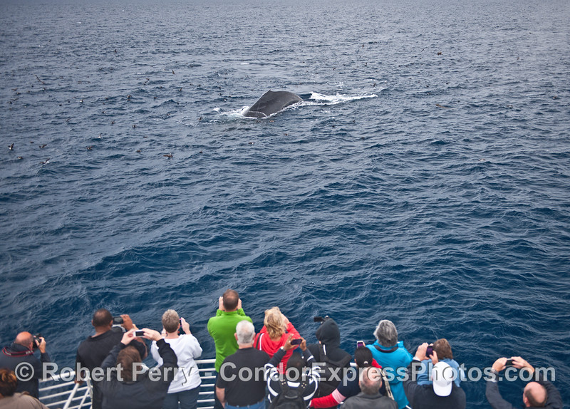 Humpback fan club at work as a big one comes in for a visit
