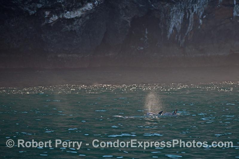 Risso's dolphins send up a misty spout near the sea cliffs of Santa Cruz Island