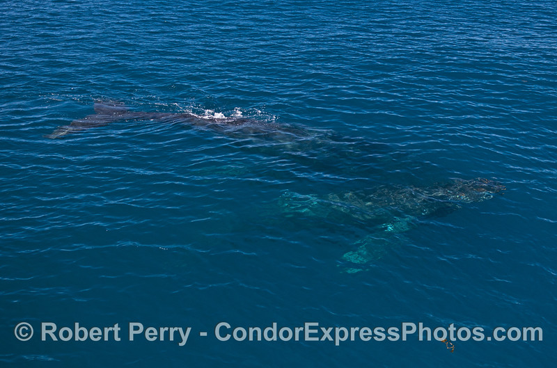 Another look at the two friendly humpbacks in clear water.