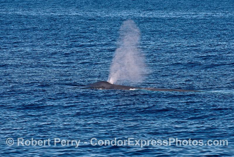 Spout of a giant blue whale