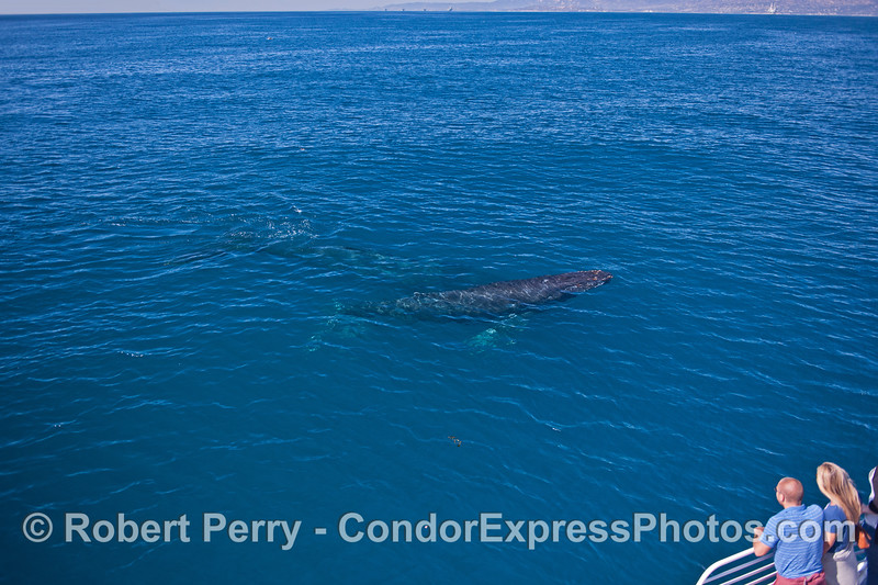 Another look at the two friendly humpback whales in blue water.