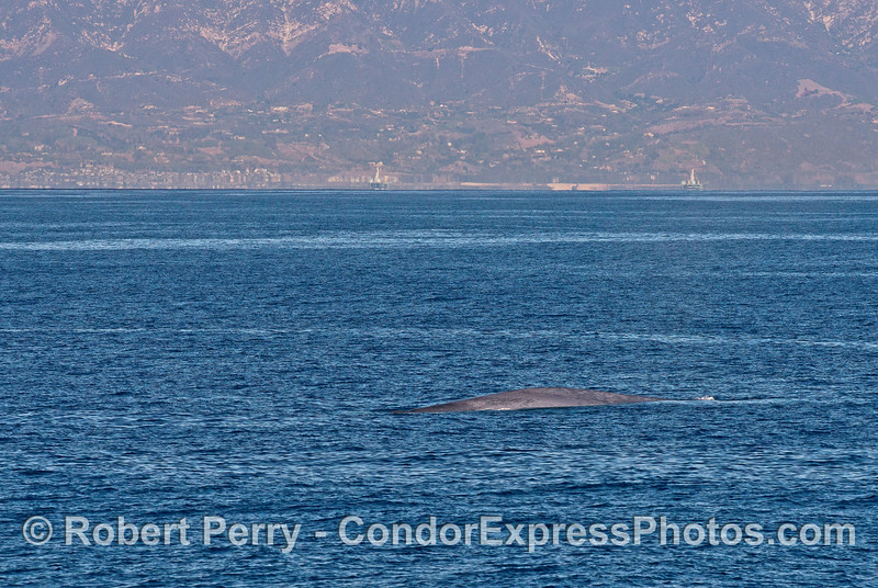 Blue whale on a day that was clear enough to capture the Santa Barbara coast in the background