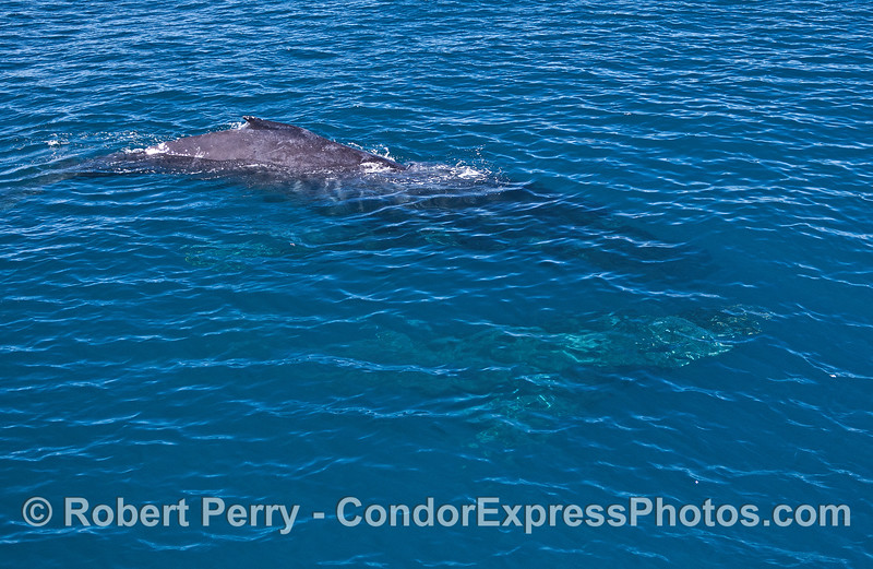 Two humpback whales, one up, one down.