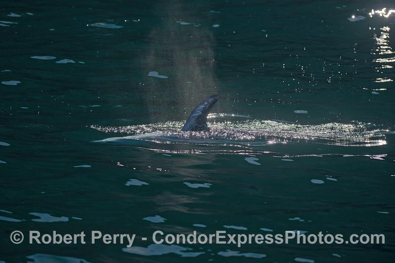 Dorsal fin and spout spray mist of a Risso's dolphin near the sea cliffs of Santa Cruz Island.