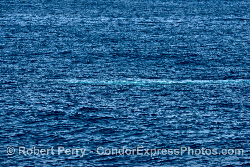The blue streak.   A giant blue whale swims beneath the waves.