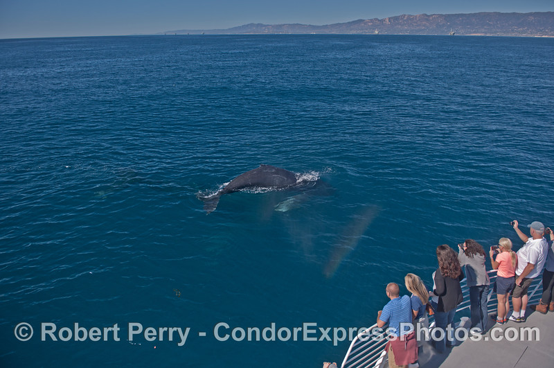 A small rainbow forms in the spout spray of a very friendly humpback whale.  Photographers paradise.