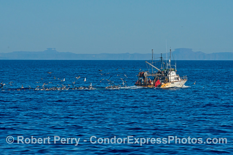 "A long line of scavenging sea birds feasts on the ""by catch,"" or non commercial species of fish and invertebrates that were dragged up from the ocean floor by this bottom trawler.  Note also the intersting mirage patterns hiding Anacapa Island in the distance."