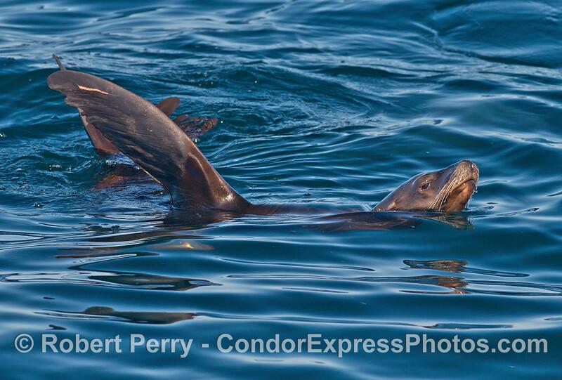 A rafting California sea lions keeps an eye on the camera