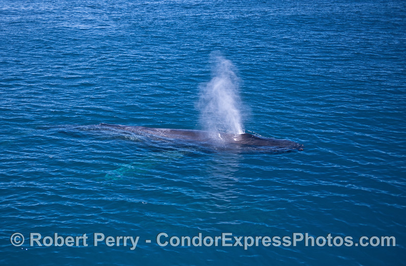 A whole body look at a spouting, friendly humpback whale in crystal blue water.