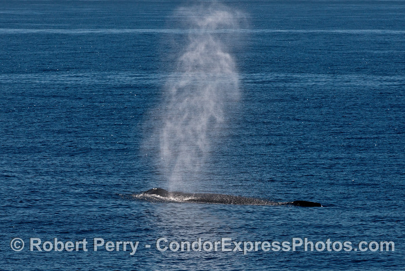 Back lighting enhances the tall spout spray of a nearby humpback whale