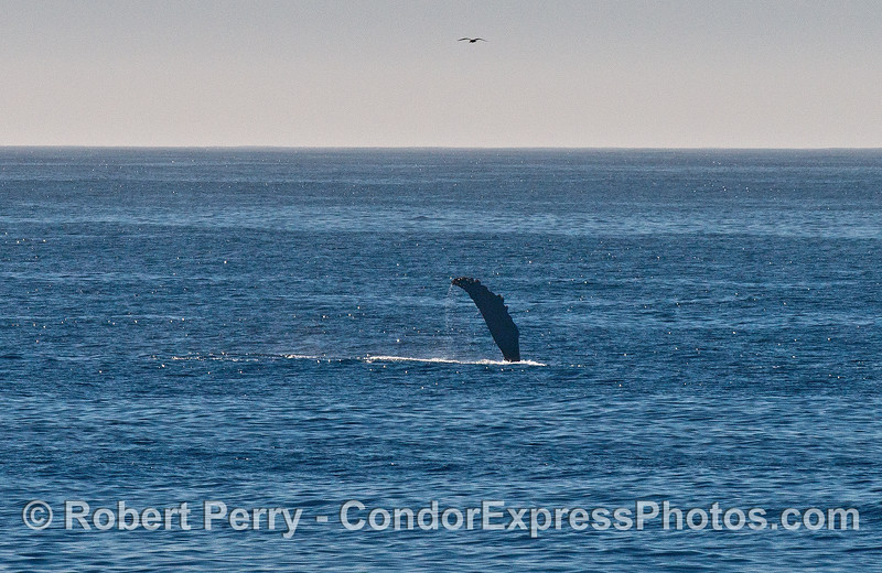 Long pectoral fin - humpback whale