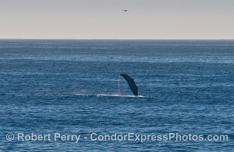 Long pectoral fin - humpback whale