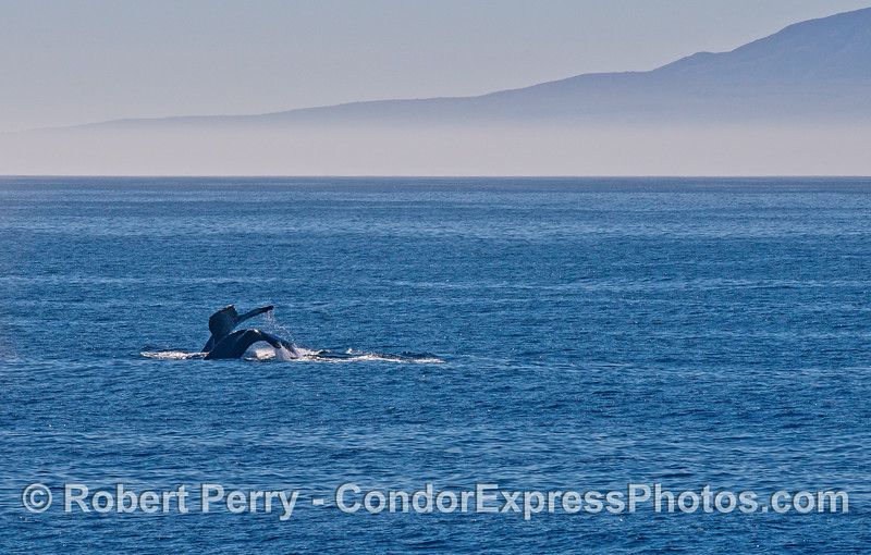 Double, side by side, humpback tail flukes with Santa Cruz Island in back