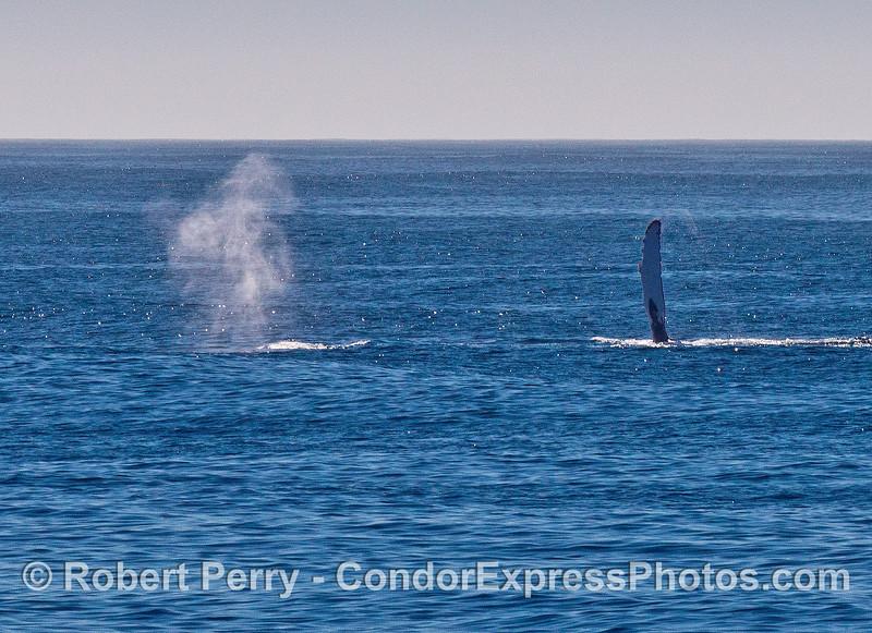 Spout 'n' slap - two humpbacks