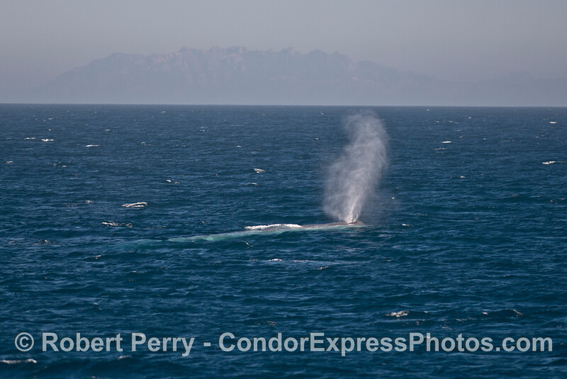 A very tall spout gets carried by the breeze - blue whale - Bony Ridge in back