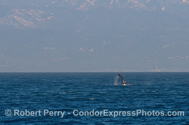A tail throwing humpback whale - Santa Ynez Mountains in back