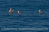Brown pelicans enjoy the calm seas and sunshine