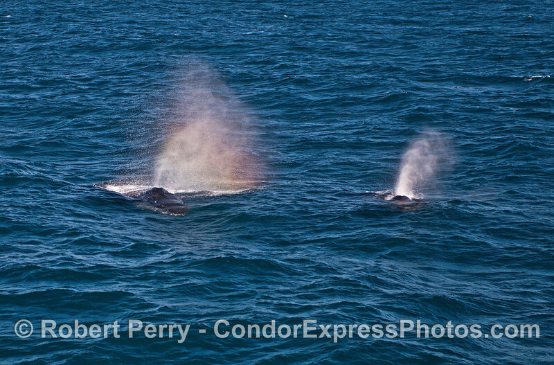 Twin humpback spouts (and one rainbow) as they head towards the boat